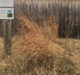 Senesced switch grass, Panicum virgatum, December 2017